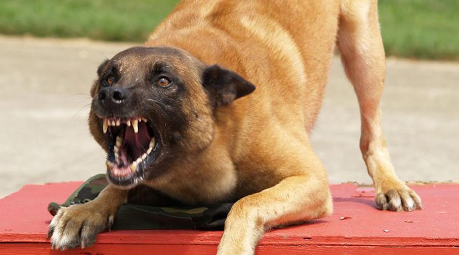 Что делать, если напала собака можно, живот, собака, уколов, отвлечь, животное, любым, предметом, одежды, Бродячие, любимой, курткой, плюньте, рюкзак, ценным, ноутбуком, Пожертвуйте, факторПопробуйте, стоятСобака, дальшеОтвлекающий