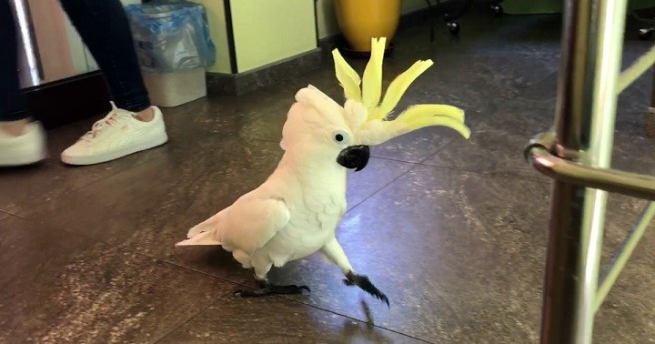 Попугай решил спародировать кота. Смотрите что получилось!