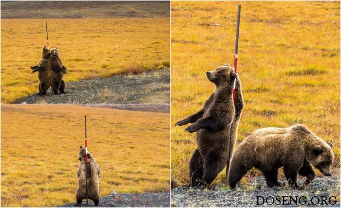 Медведи чешут спины о придор…
