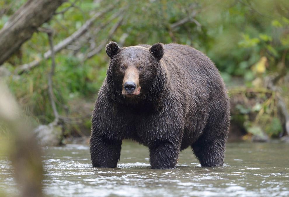 Медвежьи тропы Камчатки