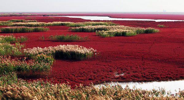 Красный пляж Панцзинь — уникальная достопримечательность Китая достопримечательности,Китай,пляжи