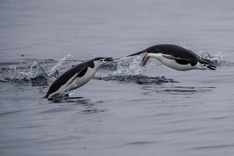 Перепись пингвинов в Антарктиде Marcelino, Reuters, Ueslei, пингвины, пингвинов, Антарктида, более, около, Южной, айсберги, февраля, могут, коротких, время, прилегающих, перьев, антарктические, километров, глубине, проплыть