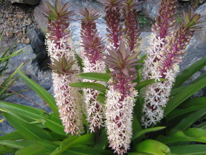 Немного экзотики: ананасная лилия эукомис