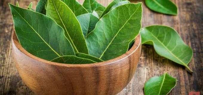 Лечение лавровым листом. Что может лечить лист лавровый?