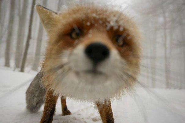7. Любопытная лисица за кадром, кадры, неожиданно, постановка, постановочные фото, секреты, фото, фотограф