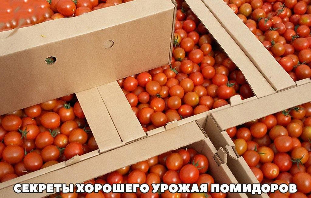 Секреты хорошего урожая помидоров