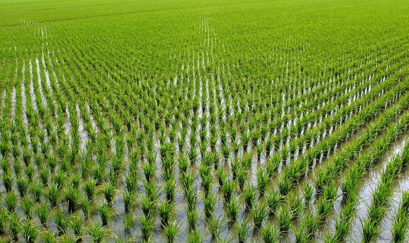 97 % людей варят рис неправильно! В том числе опытные повара не знают, как удалить мышьяк из любого риса.