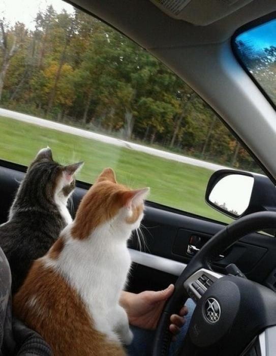 Картинки с кошками в машине