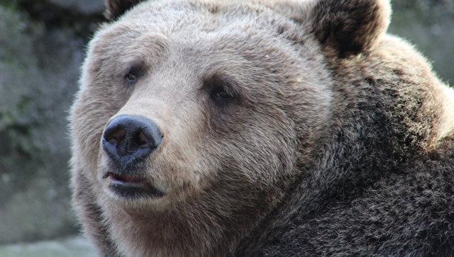 Медведь сломал забор на границе Латвии, пытаясь уйти в Россию