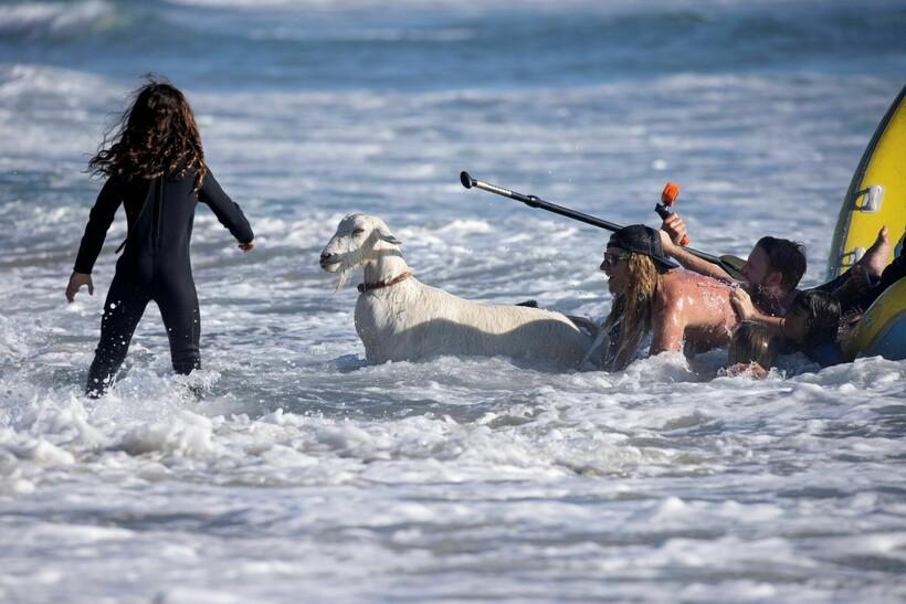 Прирождённые педагоги: в Калифорнии детей сёрфингу обучают... козы животные,серфинг,США