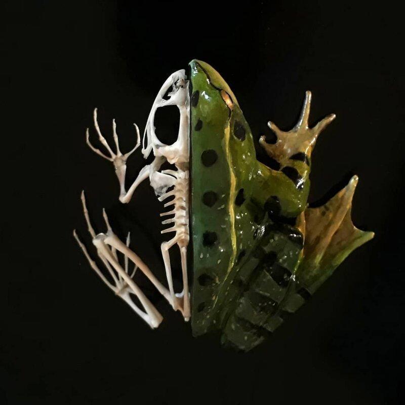 Лягушка / её скелет