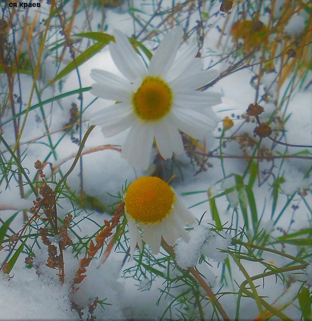 включения фотографии ромашка в снегу картинка штатива трипод