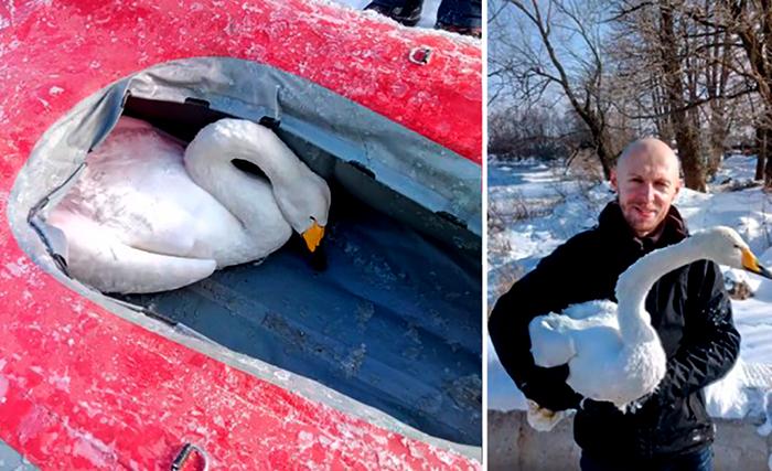 Жители Приозерска спасли погибающего лебедя