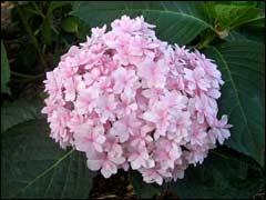Обрезка крупнолистной гортензии для стабильного цветения