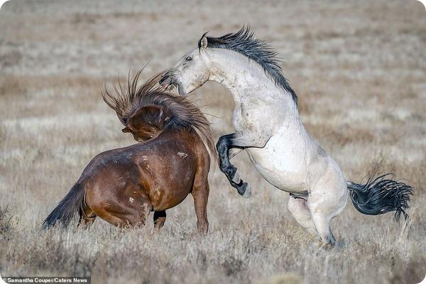 Схватка между двумя жеребцами на одном из пастбищ штата Юта