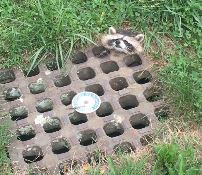В США спасли застрявшего в решетке канализации енота