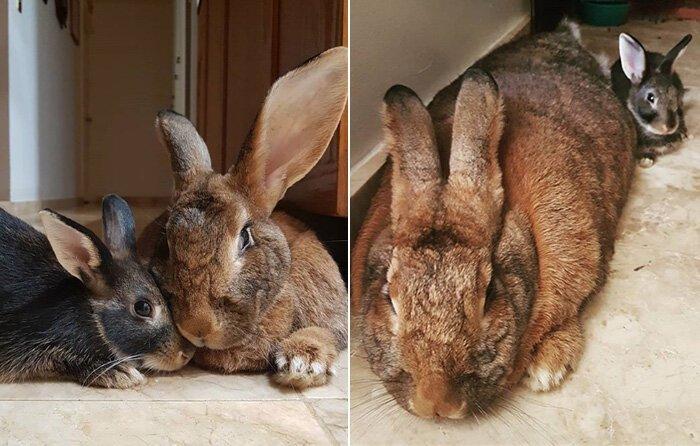 Кролик Ромео весит в 4 раза меньше своей подружки, но это не стало помехой их большой пушистой любви домашний питомец, животные, кролики, милота, размер