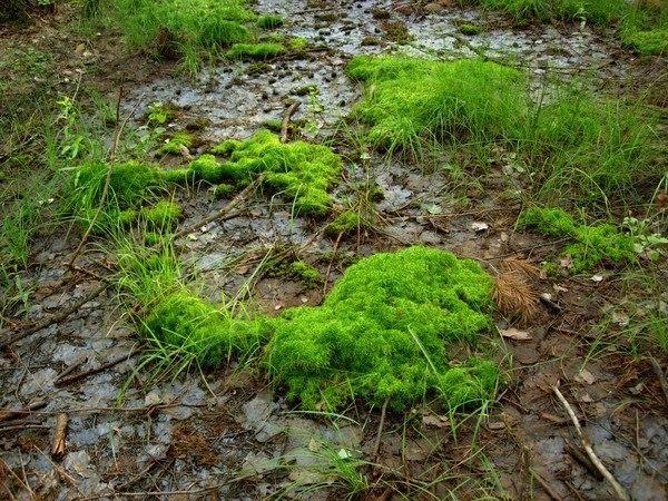 Болотное растение-сфагнум и его практическое применение.  Болота и...
