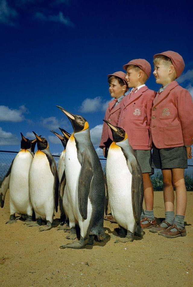 Мальчики в школьной форме позируют с королевскими пингвинами в Лондонском зоопарке, 1953 national geographic, неопубликованное, фото