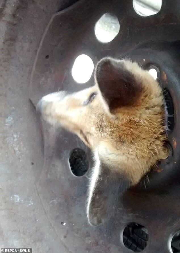 Лисенок, который засунул голову в отверстие заброшенного колеса автомобиля, был спасен Королевским обществом защиты животных с помощью растительного масла животные, застряли, смешно, спасение, чудесные истории