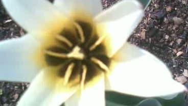 Мои Тюльпаны