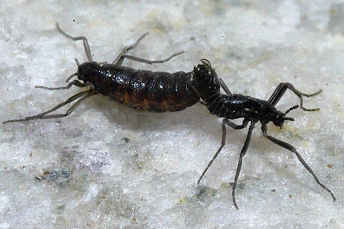 Бескрылые комары Belgica antarctica антарктида, животные, фауна, холод, эндемики