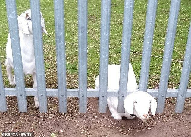 Этот глупый козел просунул голову между прутьев металлического забора в графстве Дарем. К счастью, люди проинформировали RSPCA и он был освобожден животные, застряли, смешно, спасение, чудесные истории