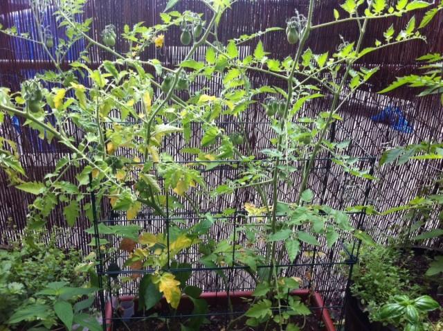 Узнайте чего не хватает томатам на огороде