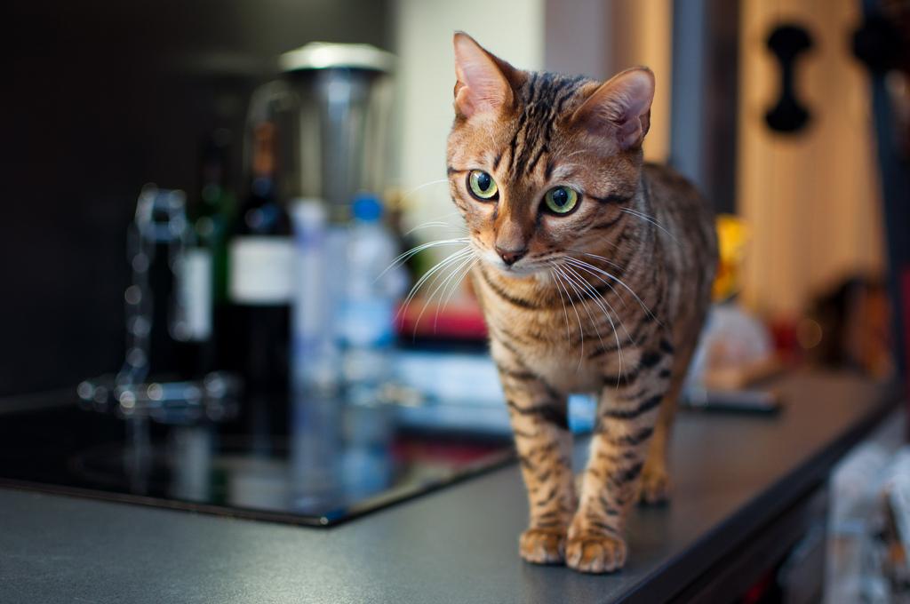 Обзор кошек породы Тойгер