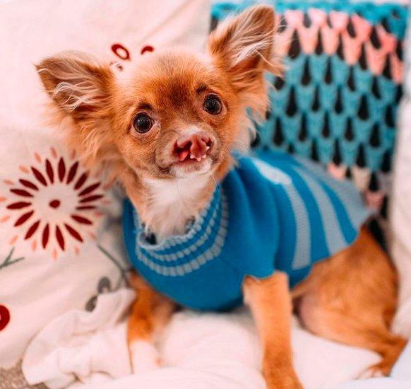 Маленький чихуахуа родился с заячьей губой, но это не мешает ему быть любимым и наслаждаться жизнью