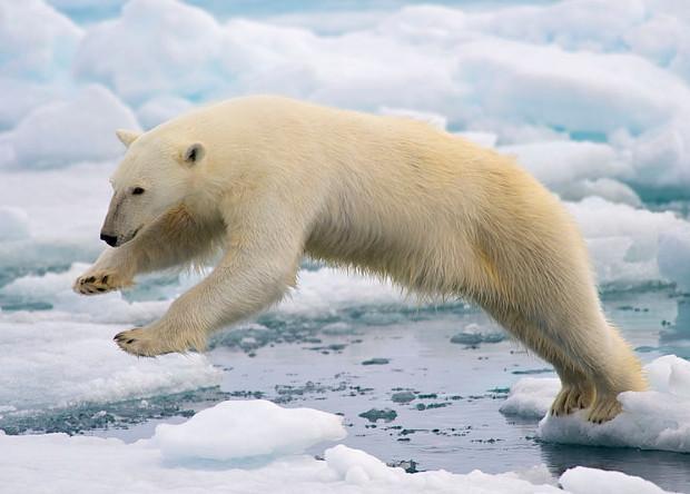 Органические загрязнения в Арктике ослабили кость в пенисе белых медведей