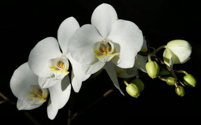 Проблемы при содержании орхидей.