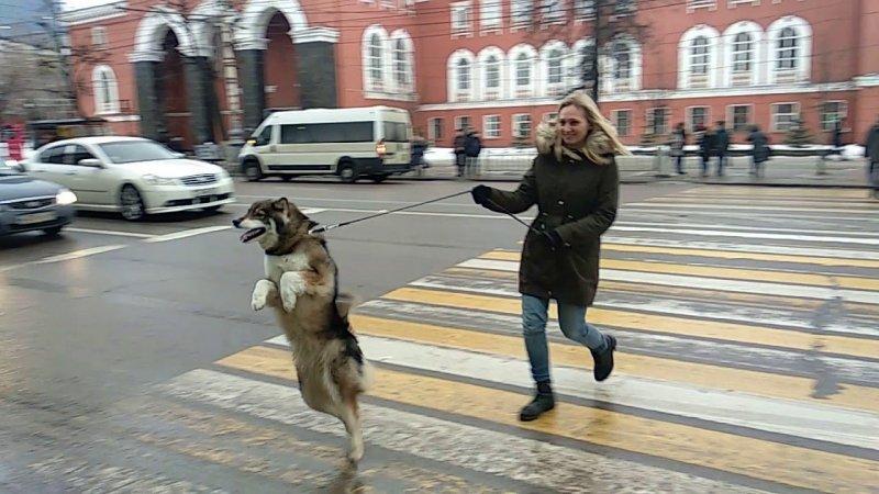Пёс, который обожает ходить, как человек акита, видео, животные, питомец, прикол, фото, хаски