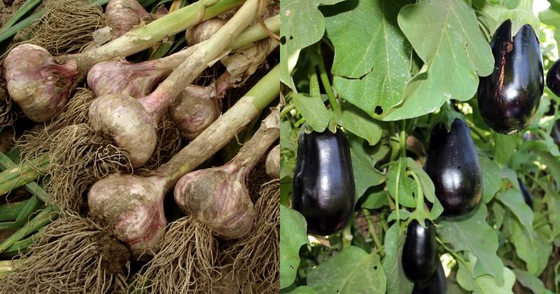 совместные посадки овощей на грядке