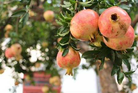 Гранат фрукт полезные ÑвойÑтва_где раÑтет