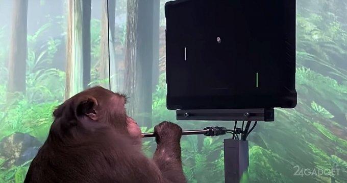 Обезьянка сыграла в Понг, используя «силу мысли» видео,гаджеты,наука,техника,технологии,электроника