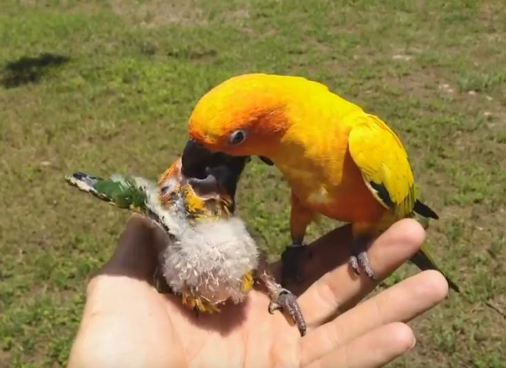 Папа-попугай пытается кормить птенца после гибели матери