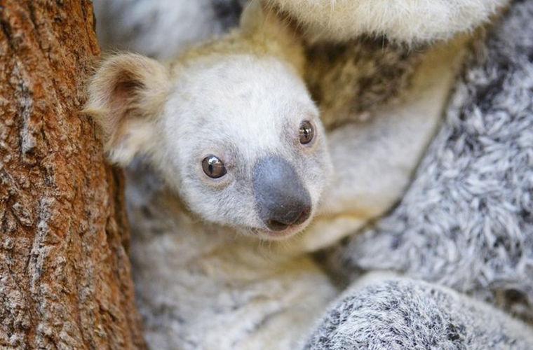 В австралийском зоопарке родилась коала с белой шерстью