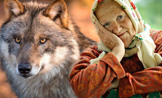 Навстречу ночным гостям вышел волк. Когда-то бабушка взяла волчонка перепутав со щенком