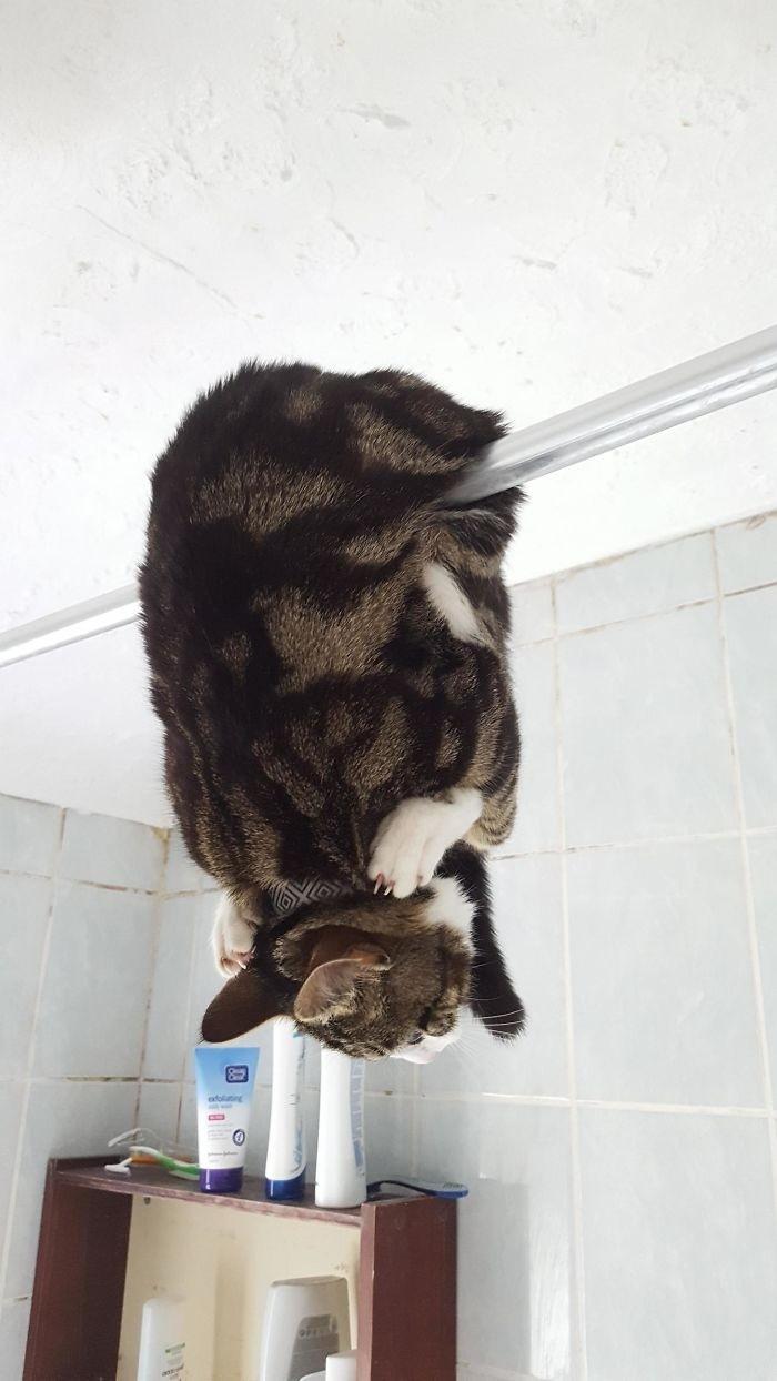 """""""В такой позе я нашёл свою кошку, войдя в ванную комнату"""" кошки, приколы, прикольные фото животных, смешные кошки"""