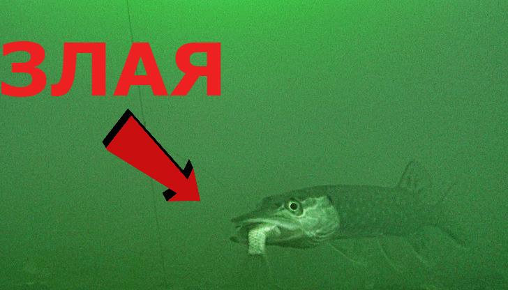 ОСТОРОЖНО! Злая ЩУКА! Щука на живца! Подводное видео