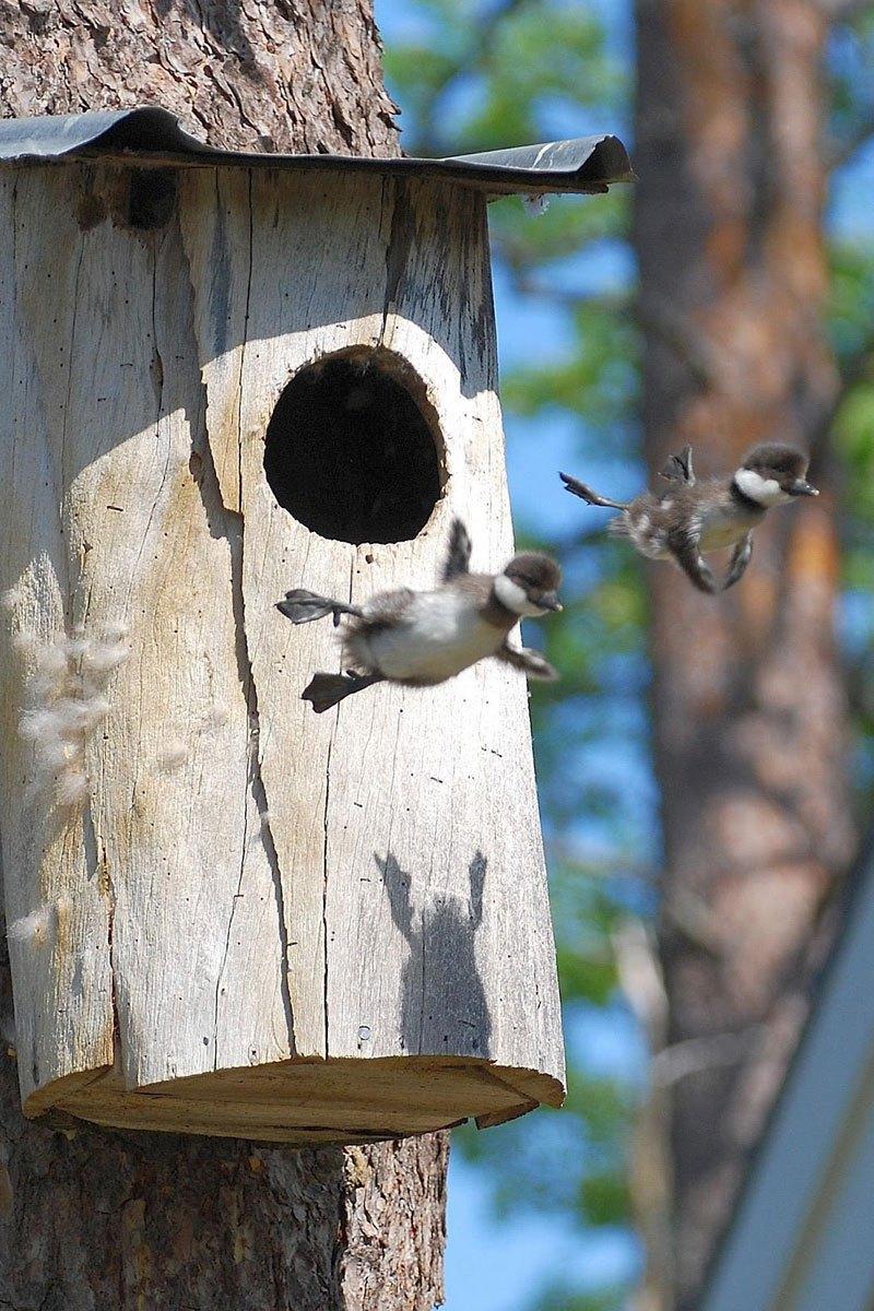 baby-common-goldeneye-ducks-leaving-nest-flying-for-first-time