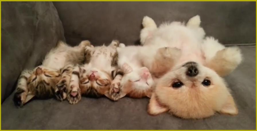 Этот щенок не хочет разбудить котят, поэтому смотрите за тем, что он делает! (видео)