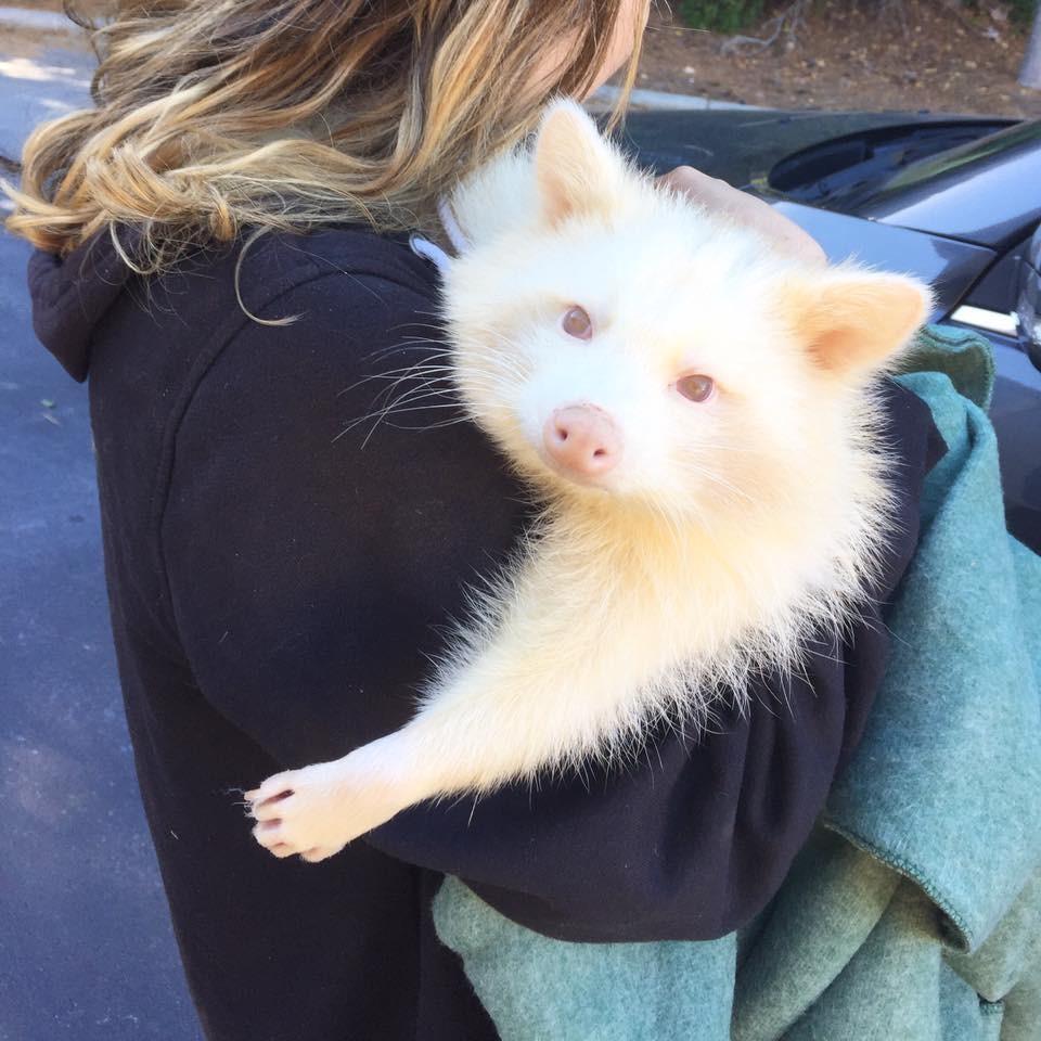 Из этого удивительного и нежного енота альбиноса собирались сделать чучело!