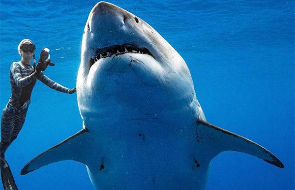 У берегов Гавайев замечен самый крупный экземпляр белой акулы