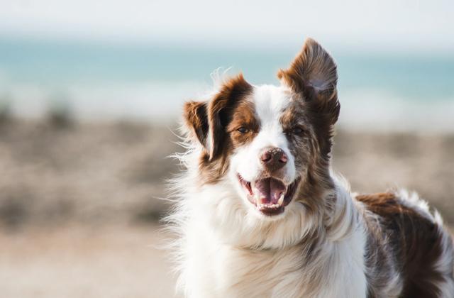 10 самых умных собак: рейтинг «Моей Планеты»