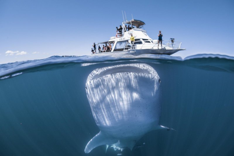 Гигантская китовая акула с огромным ртом подплыла под лодку с туристами