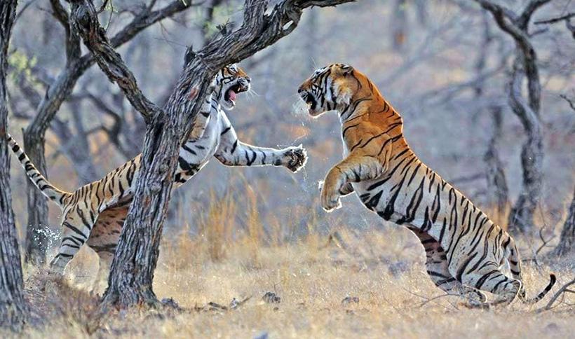 Картинки с тиграми на охоте