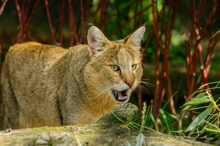 Камышовый кот или болотная рысь