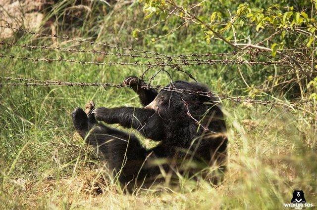 В Индии спасли медведя, кото…